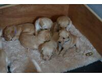 6 beautiful labradoodle puppies