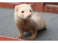 Young male and female ferrets. Ready to go !! £5 each