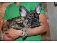 French bulldog Last Boy Choc Merle DWKC Registered