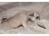 KC Registered Pug puppies for sale.