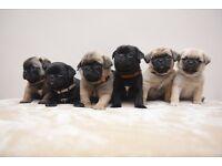 ** KC PUG PUPPIES FULLY HEALTH TESTED **