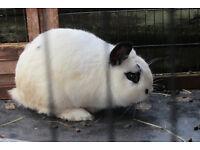 Lovely male lop eared rabbit