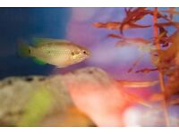 A pair of Jewel Cichlids