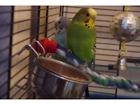2 Budgies & cage & their toys for sale