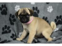 Pug puppies   Dogs & Puppies for Sale - Gumtree