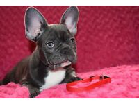 French Bulldog puppies 4 Blue Girls left Kc Reg - JHC-DM CLEAR