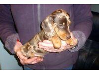 DACHSHUND miniature smooth chocolate dapple male pup