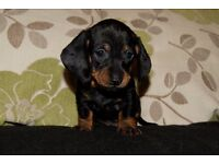 Standard Dachshund Puppies Available to Reserve
