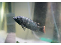 Fish tank accessories cichlid adult tilapia