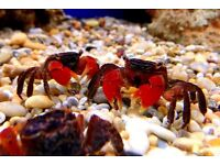 Red Freshwater Crab for sale ONLY £3 !!