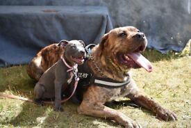 ***Perro de Presa Canario Puppies For Sale***