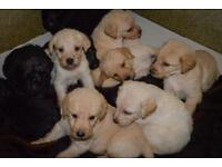 Stunning F1 Labradoodle Puppies. Health tested KC Reg mum and hip scored, full pedigree dad.