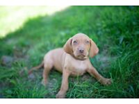 Hungarian vizsla pups KC registered