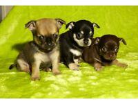3 Gorgeous Girls, Chihuahua x Chug Puppies, Ludlow, Shropshire.
