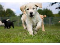 Could you be a volunteer Puppy Walker for Guide Dogs?