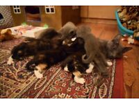 2 Adorable tortiseshell/calico girls from a blue mother for sale