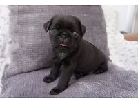 Perfect Pug Puppies looking for a home