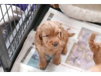 Beautiful Cockapoo Puppies for Sale