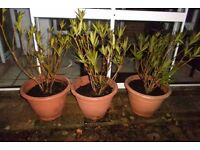 3x Oleander plants in pot for garden