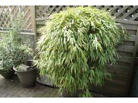 bamboo plant.