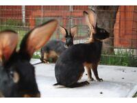 Belguim hares