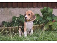 Beagle puppy bitch 4 and half months old