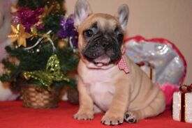 French Bulldog Puppies Kennel Club Registered 5 Gen Pedigree