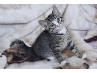 BEAUTIFUL KITTENS TABBY OR BLACK / WHITE READY ON 4-9-16 ��50-75 ONO