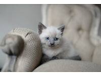 Snowshoe x siamese female kitten