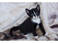GORGEOUS KITTEN, DISTINCTIVE BLACK + WHITE, VERY FRIENDLY. READY NOW