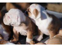 English Bulldog British puppy,pupies,KC registered,PURE BREED,SHOW,champions Pedigree