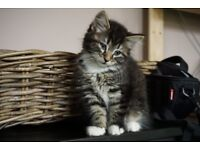 Stunning fluffy Maine coon cross kittens