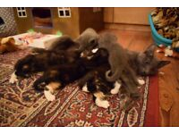 3 Adorable tortiseshell/calico girls from a blue mother for sale UPDATE - NOW 2 REMAINING