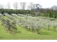 Worker required to prune Plum trees in Orchard in North Norfolk.