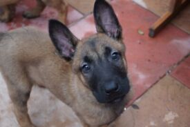 🐕🦺BELGIAN MALINOIS PUPS FOR SALE TO GOOD HOMES🐕🦺