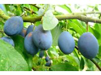WANTED: Damsons (fruit similar to small plums) for wine making