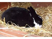 Male Neutered Rabbit for sale 18 months old handles well