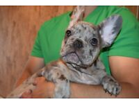 Dwkc registered 2 boys left Blue/ choc / Merle French bulldog Puppies