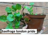 Saxifrage london pride perennial plant in pot for the garden £1.50 each