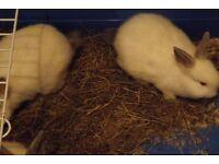 10 week rabbits make good house pets