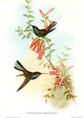 Gould Birds vintage Hand-Colored Lithograph  1955 size16 x 12 in   pied-tail