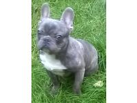 Reduced! kc'd french bulldog puppies