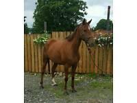 15.2hh, 6yr old, mare.