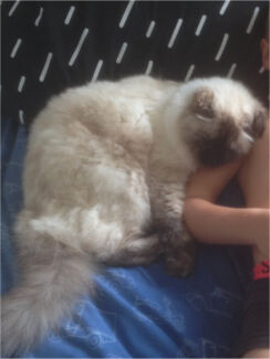 Lost cat 'Dolly'