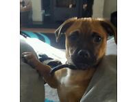 Pug cross puppy (jug puppy)