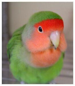 Bébés inséparables nourris à la main / handfed lovebirds