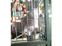 15 month old African grey parrot