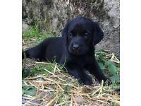 Black Labrador puppies. Pedigree. Kennel Club registered.