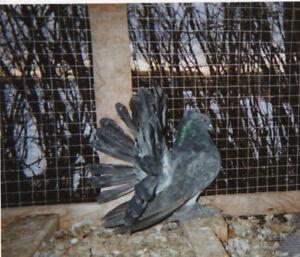 Pigeons Fantail