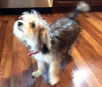 Beautiful Morkie puppy (female)